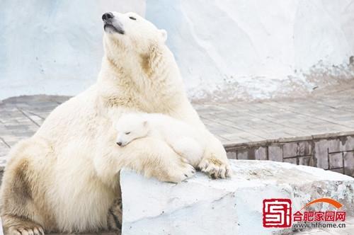 俄罗斯动物园北极熊母女相拥取暖(高清组图)